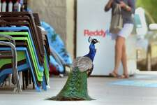 A peacock hangs out at the Silsbee Dollar General as patrons enter and exit the building Thursday. The bird has become a regular site for many customers since the store's opening last year.   Photo taken Thursday, April 13, 2017 Guiseppe Barranco/The Enterprise