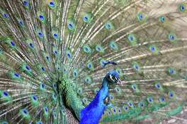 A peacock fans its feathers behind the Silsbee Dollar General on Thursday. The bird and its counterpart live near the store and have been spotted by many customers and staff. Photo taken Thursday, April 13, 2017 Guiseppe Barranco/The Enterprise