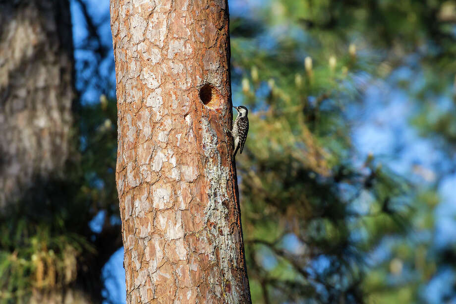 The endangered red-cockaded woodpecker, about the size of a cardinal, lives in remnants of Southern pine forests, like the W. G. Jones State Forest. Photo: Kathy_Adams_Clark / Kathy Adams Clark/KAC Productions
