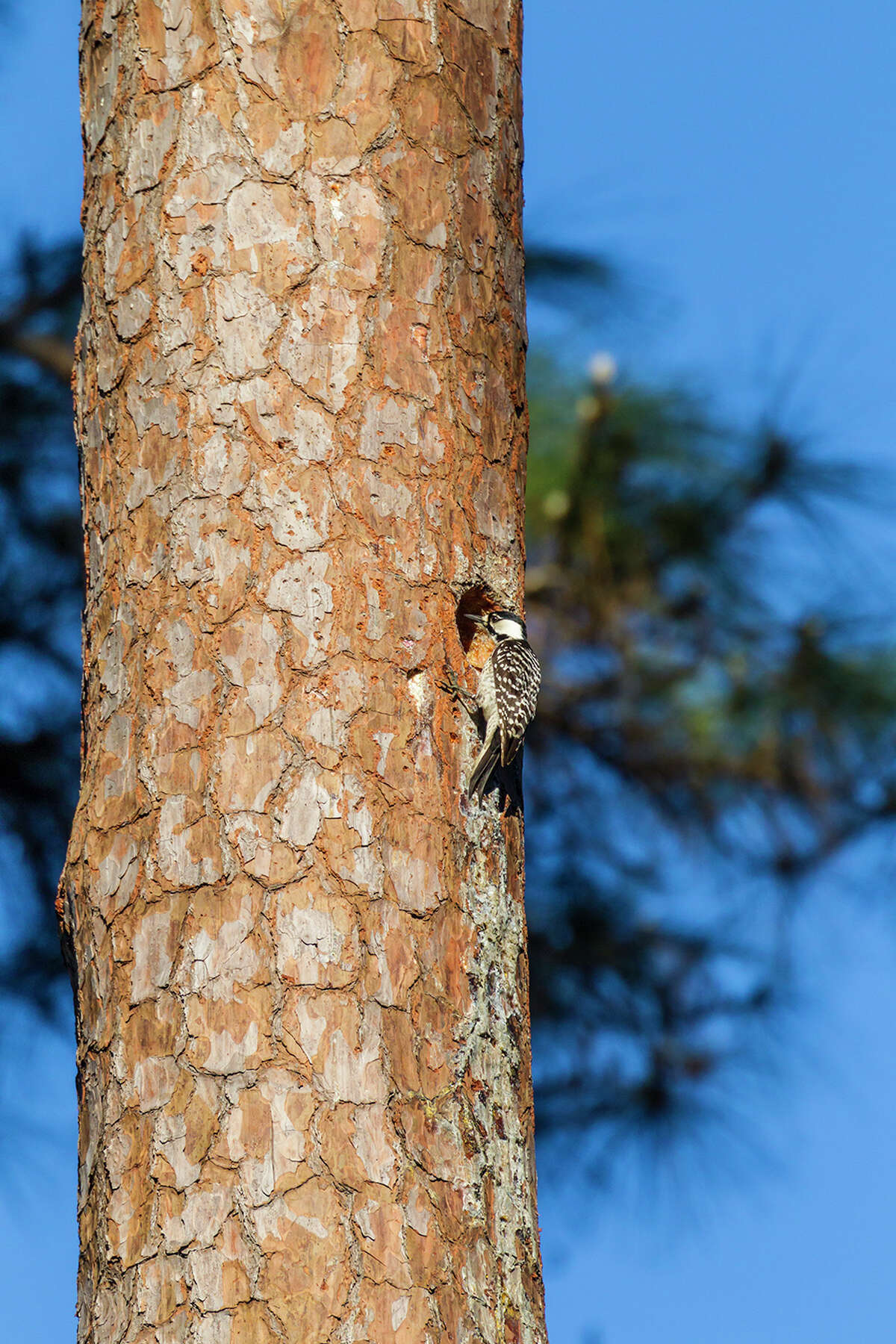 The endangered red-cockaded woodpecker, about the size of a cardinal, lives in remnants of the Southern Pine Forest like the W. G. Jones State Forest.