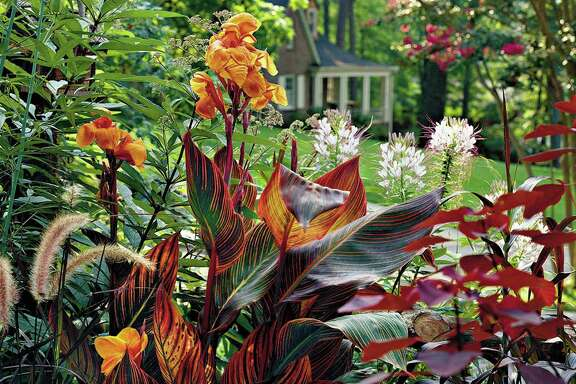 'Tropicanna' adds brilliant color and texture to this mixed flower border.