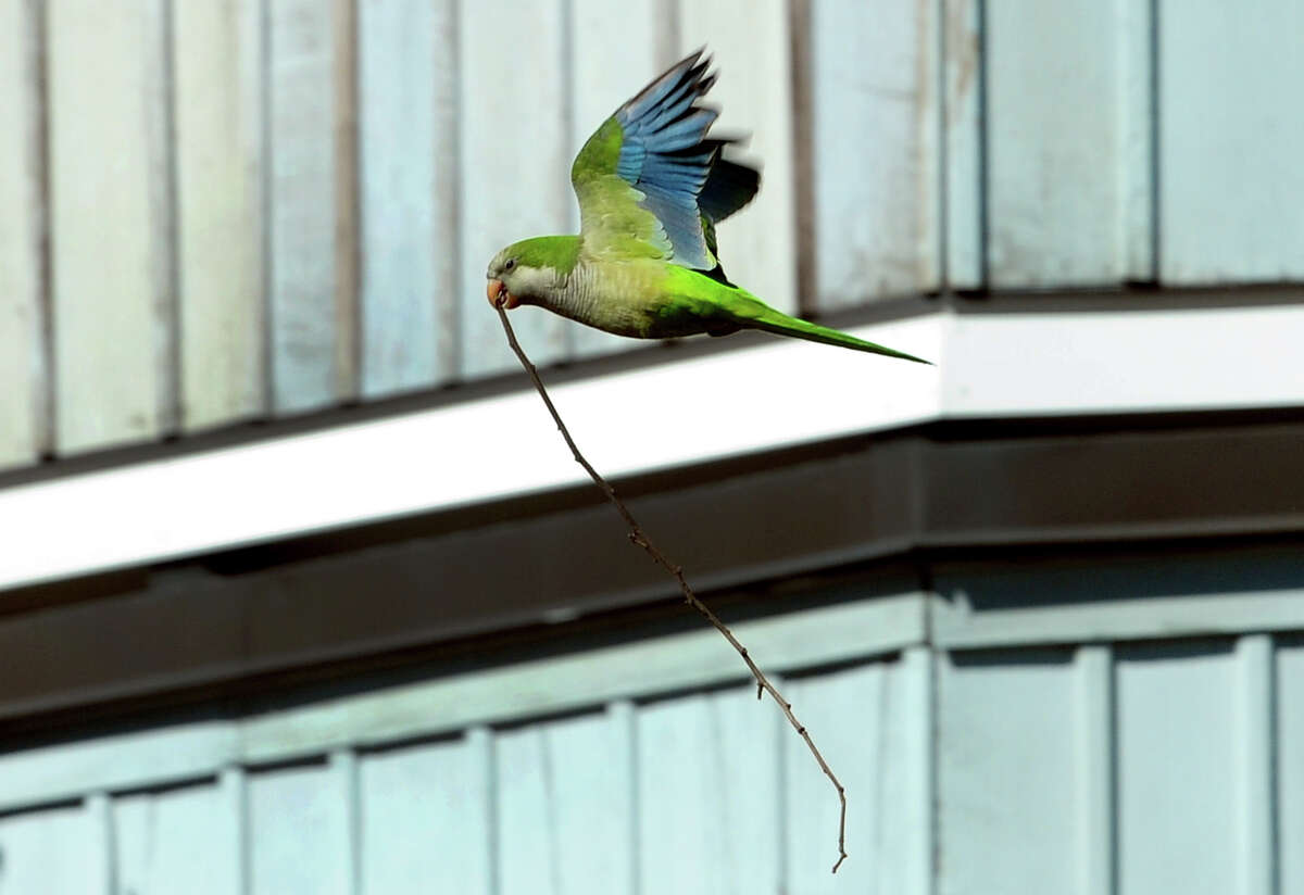 A monk parakeet carries a branch in its beak as it flies to its communal nest at American Shakespeare State Park in Stratford, Conn., on Friday Apr. 14, 2017. The nests in the park are high up in pine trees but many have been built near and around transformers on telephone poles, causing controversy due to efforts of utility companies like UI to remove them.