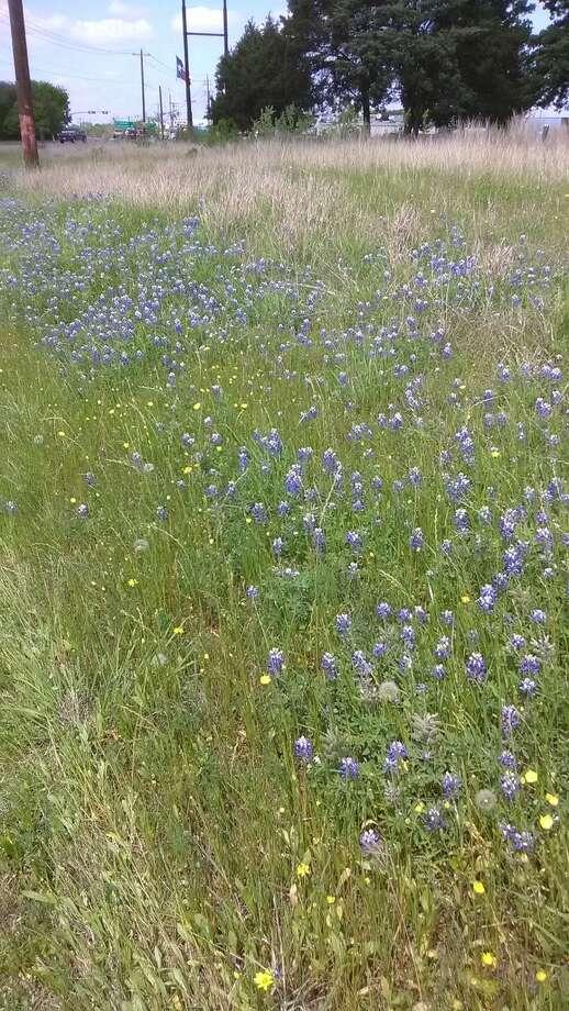 Bluebonnets were named the state flower by the Texas Legislature in 1901. Photo: Submitted Photo