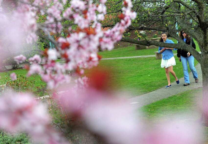 Cherry blossoms bloom as people walk along the pathway next to the Saugatuck River in Westport, Conn. on Saturday Apr. 15, 2017.
