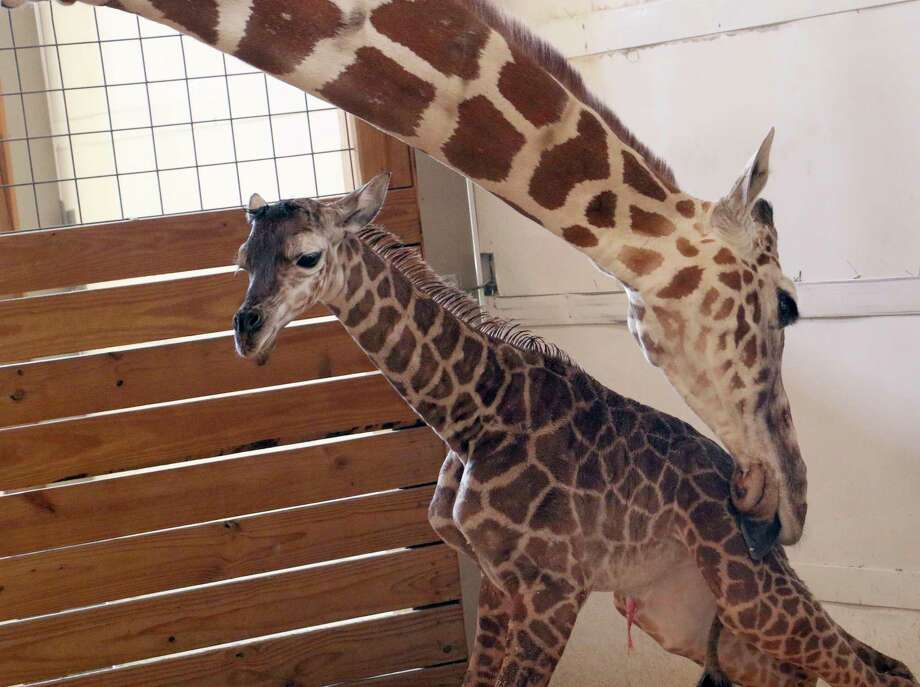 In this photo provided by Animal Adventure Park in Binghamton, N.Y., a giraffe named April licks her new calf on Saturday, April 15, 2017. Her birth was broadcast to an online audience with more than a million viewers. (Animal Adventure Park via AP) ORG XMIT: NYR101 / Animal Adventure Park