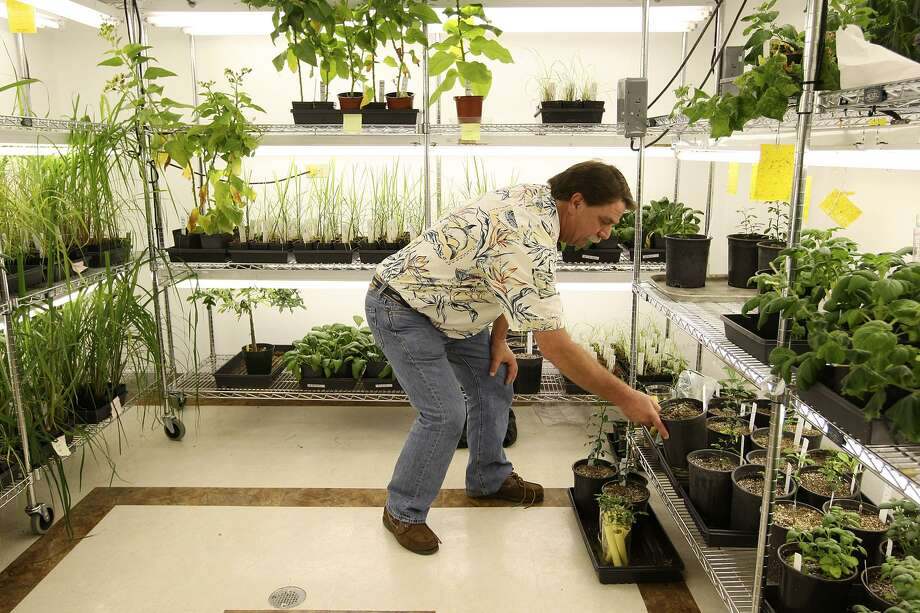 Texas AgriLife Research and Extension Center Professor Erik Mirkov picks up a citrus tree with genes transferred from a spinach plant at the center in Weslaco. The U.S. Department of Agriculture has announced an important next step in the quest to stop citrus greening disease. The agency is looking for more information about using a genetically engineered citrus tristeza virus that's been bolstered with proteins from spinach to fight the disease. Photo: San Antonio Express-News File Photo / © San Antonio Express-News