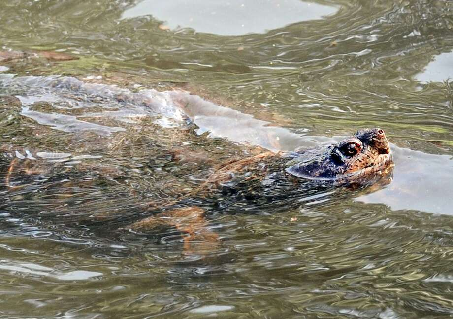 A snapping turtle trolls the water of Binney Park Pond, Old Greenwich, Conn., Friday, August 5, 2016. Photo: Bob Luckey Jr. / Hearst Connecticut Media / Greenwich Time
