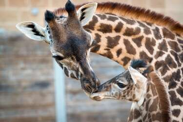 VIDEO: April the giraffe's baby is cute, but not as cute as