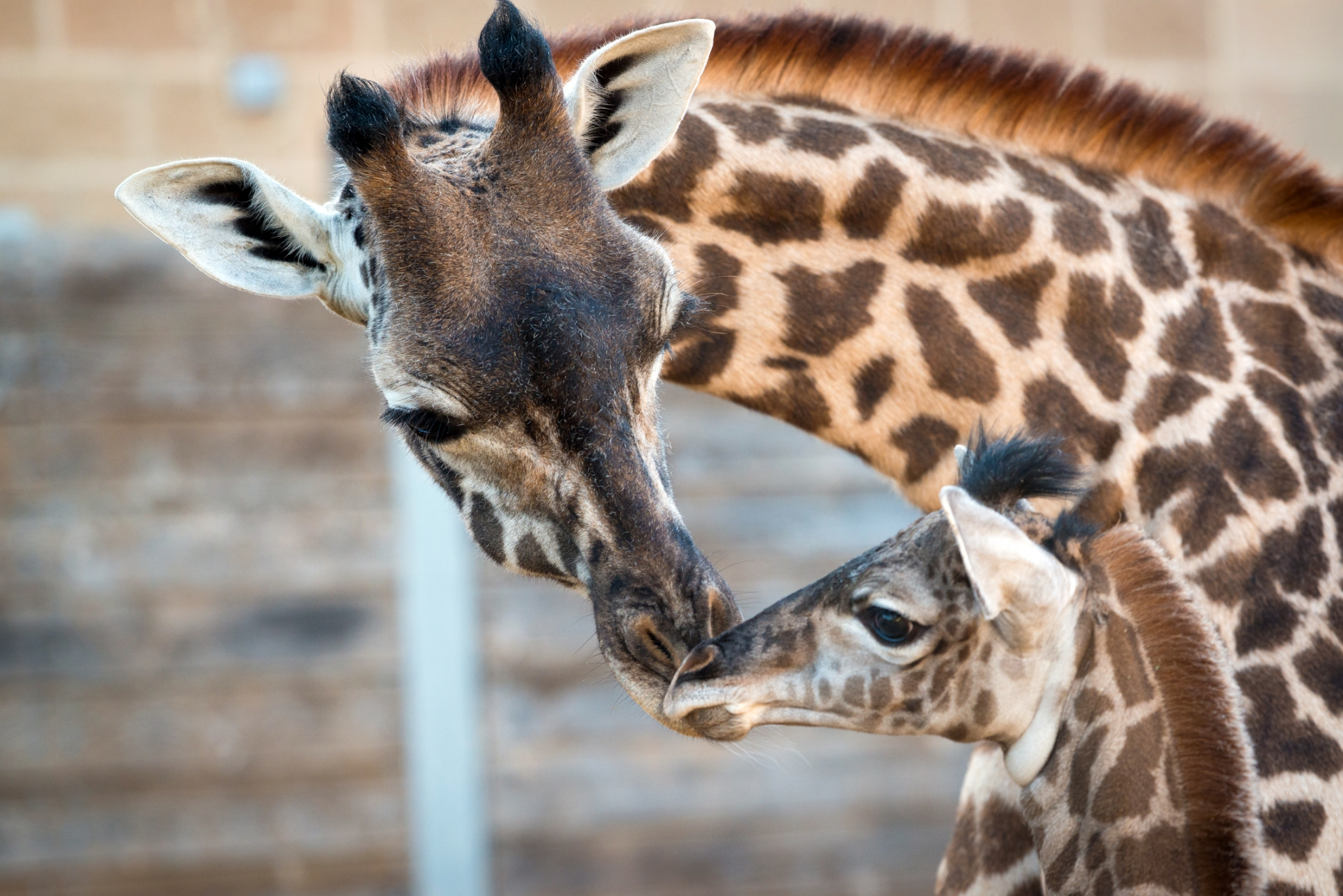 VIDEO: April the giraffe's baby is cute, but not as cute ...