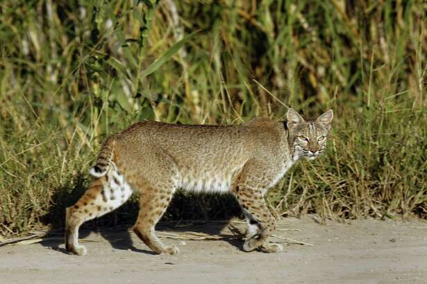 A rare sighting of a bobcat near the U.S.-Mexico border, one of the many animals that would be affected by the reinforced border wall. (Carolyn Cole/Los Angeles Times/TNS)