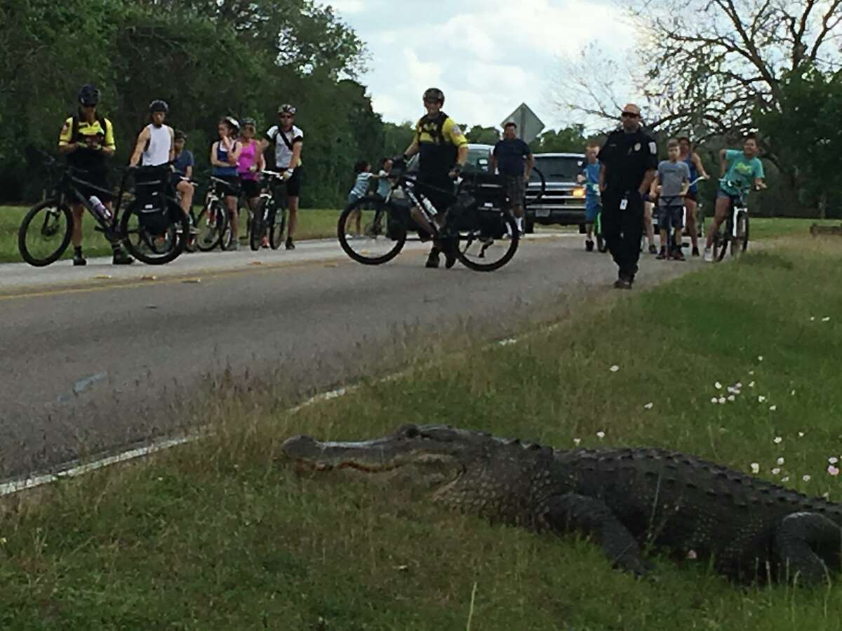 Gator encounter Fort Bend EMS recently assisted in crowd control with a 12-foot alligator at Brazos Bend State Park. Click through to see other Houston-area encounters with alligators.