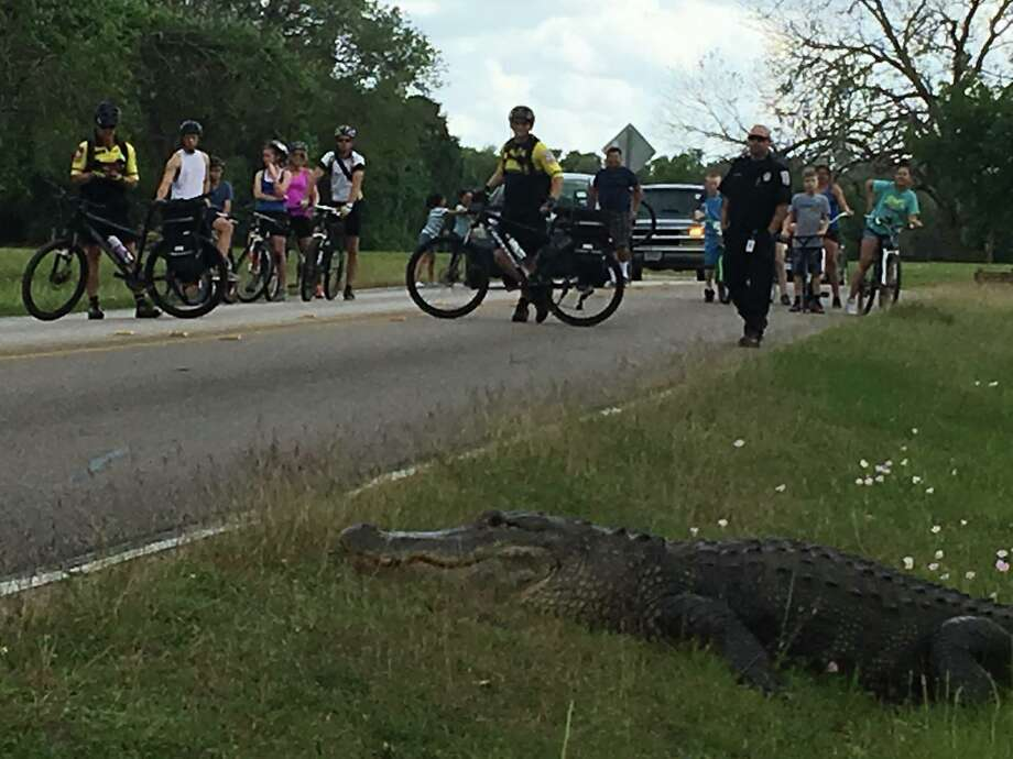 Gator encounterFort Bend EMS recently assisted in crowd control with a 12-foot alligator at Brazos Bend State Park.Click through to see other Houston-area encounters with alligators.