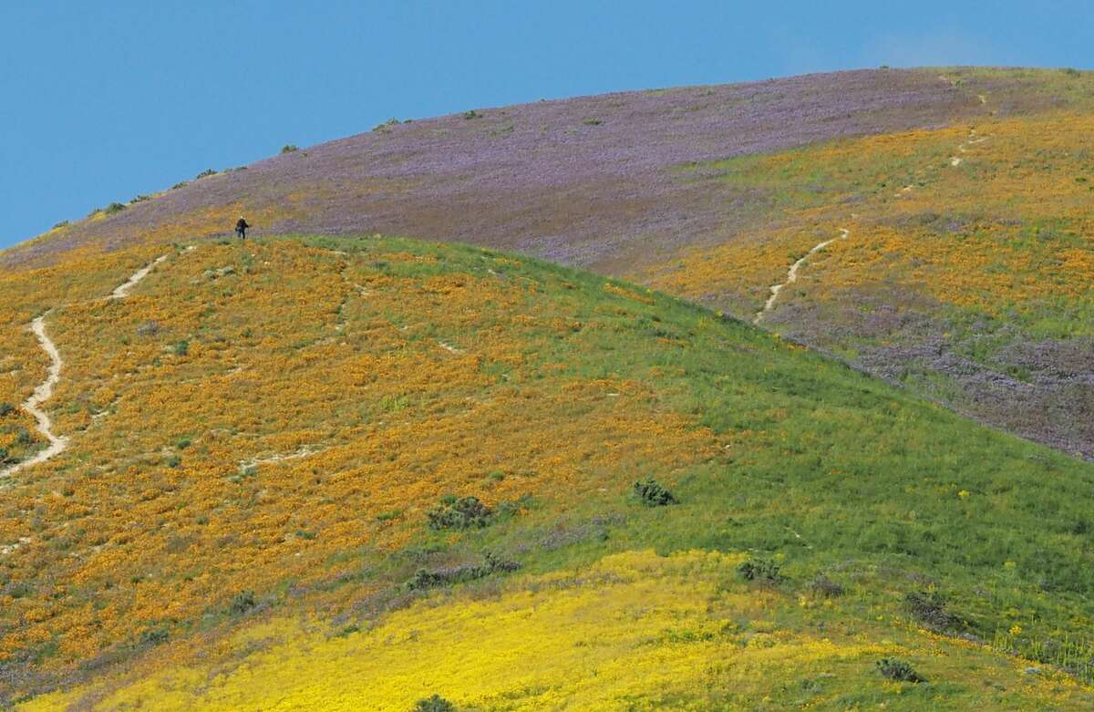 """Wildflowers cover this hills of the Tremblor Range in Carrizo Plain National Monument near Taft, California during a wildflower """"super bloom,"""" April 12, 2017. After years of drought an explosion of wildflowers in southern and central California is drawing record crowds to see the rare abundance which is even visible from space in satellite imagery."""