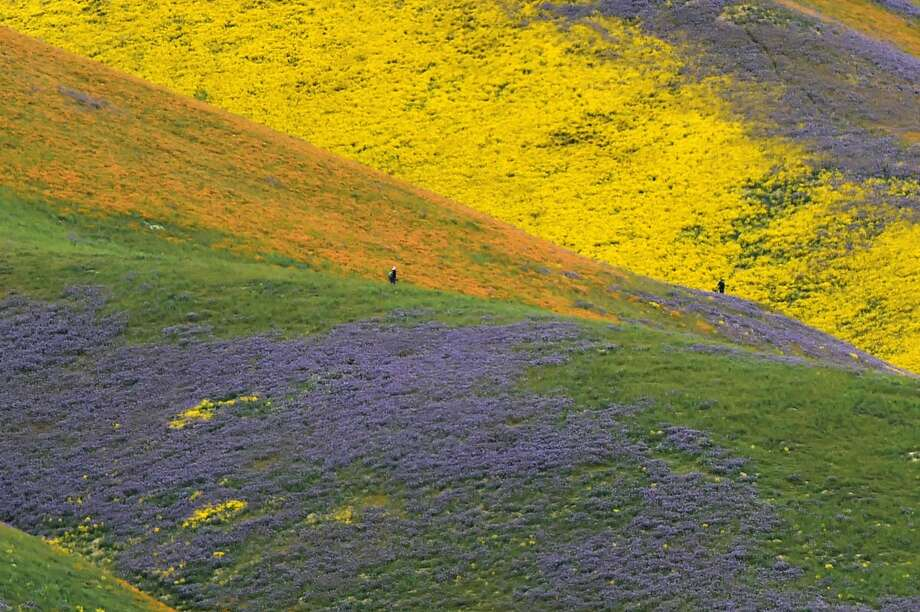 Orange, yellow and purple wildflowers paint the hills of the Tremblor Range, April 6, 2017 at Carrizo Plain National Monument near Taft, California. After years of drought an explosion of wildflowers in southern and central California is drawing record crowds to see the rare abundance of color called a super bloom. Photo: ROBYN BECK/AFP/Getty Images