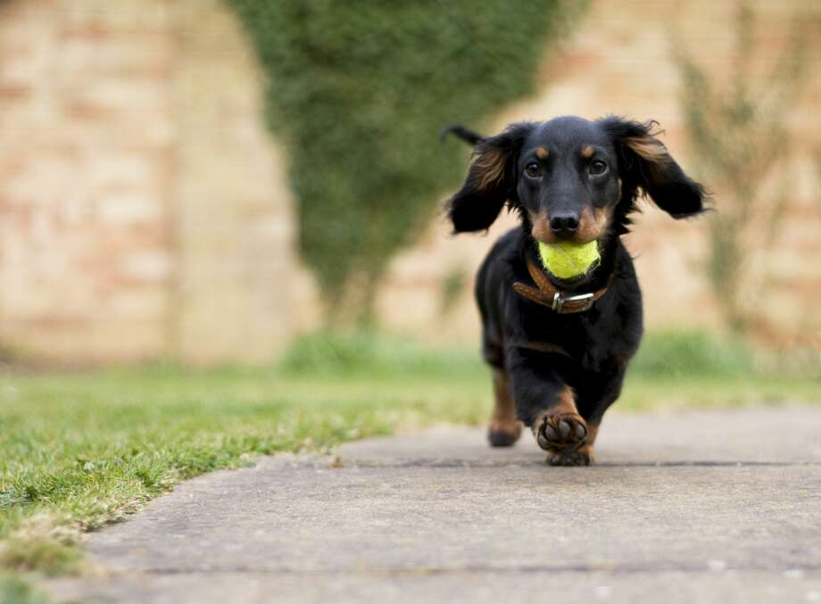 File photo: A dachshund puppy plays with a ball. Photo: Ian Payne/Getty Images