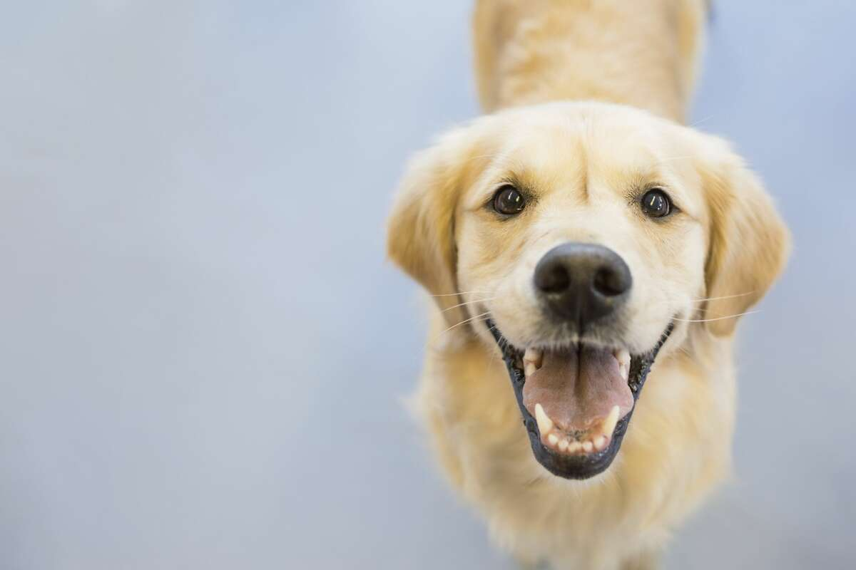 IN: The golden retriever. TSA has started to use five floppy-eared dogs breeds exclusively for passenger-screening at airports.