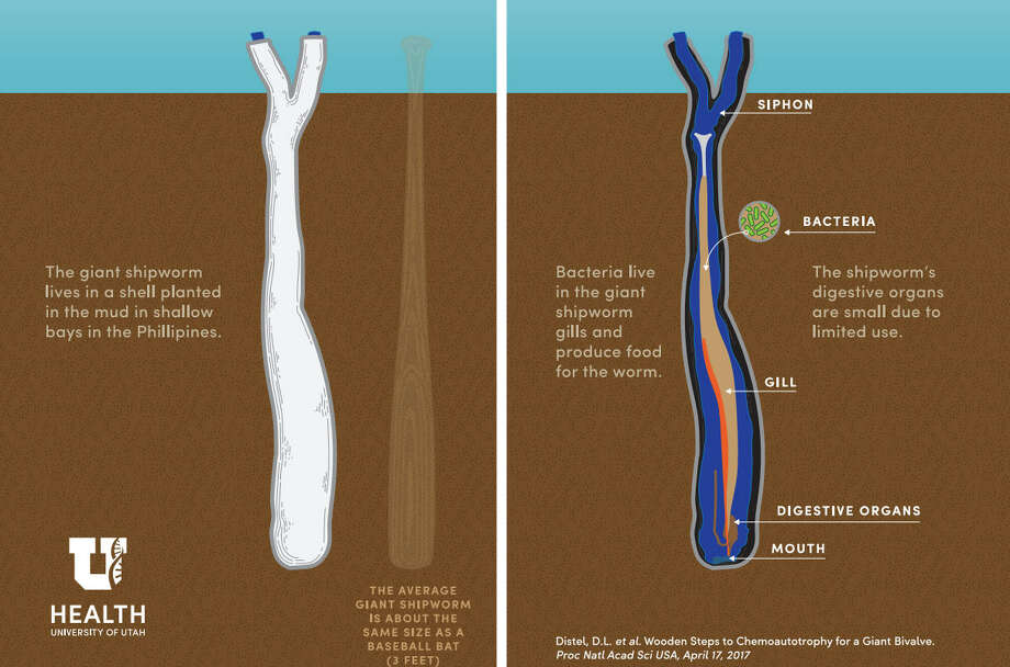 Giant Shipworm (Kuphus plythalamia) Photo: University Of Utah