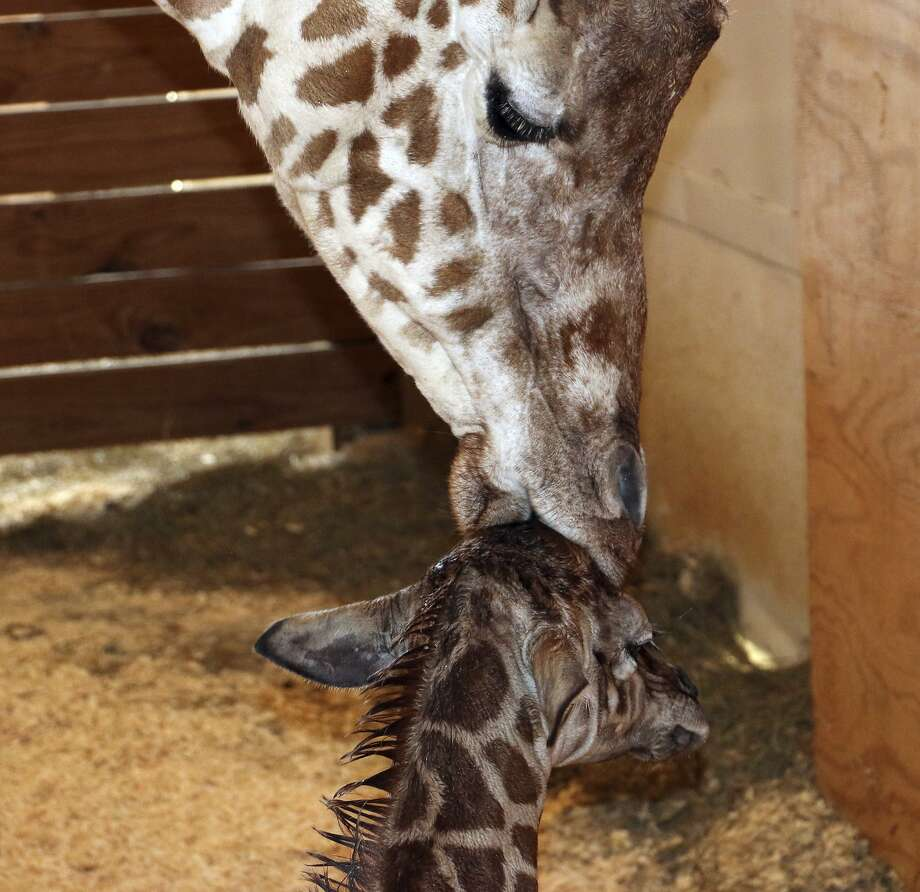 In this photo provided by Animal Adventure Park in Binghamton, N.Y., a giraffe named April kisses her new calf on Saturday, April 15, 2017. Her birth was broadcast to an online audience with more than a million viewers. (Animal Adventure Park via AP) Photo: Associated Press