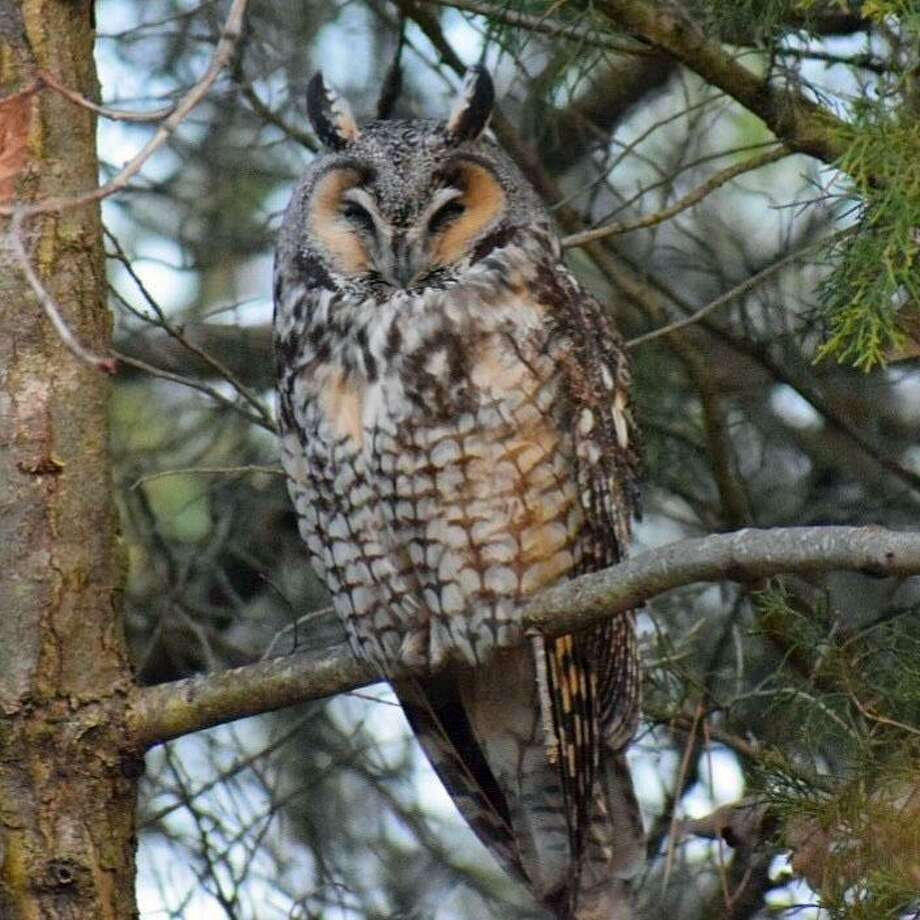 This long-eared owl has been attracting much attention at Greenwich Point. Photo: Neil Vigdor