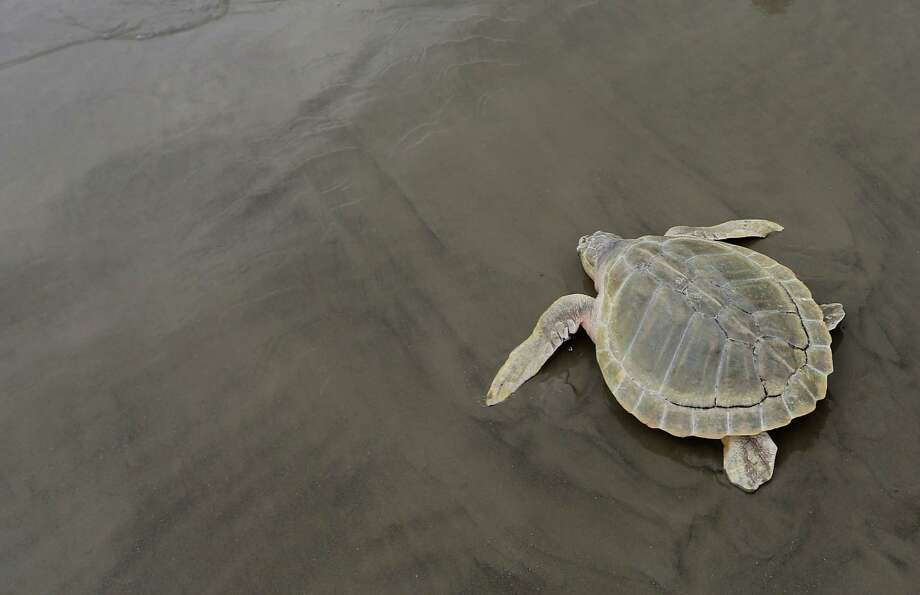 A Kemp's ridley turtle, the smallest and most enlarged sea turtle in the world, makes its way back into the water after being rehabbed by Houston Zoo and the National Oceanic and Atmospheric Administration Fisheries last year in Galveston. ( Elizabeth Conley / Houston Chronicle ) Photo: Elizabeth Conley, Staff / © 2016 Houston Chronicle