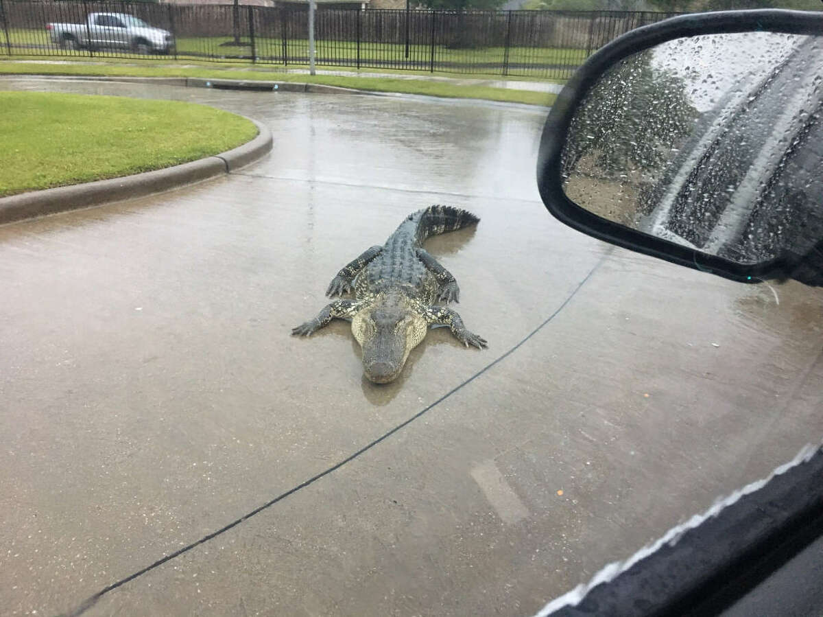 Just another commuting day in Houston. As a Fort Bend County resident was driving through his neighborhood the morning of April 17, 2018, he came across an alligator in the middle of the street.