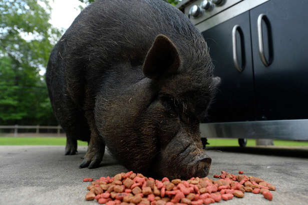 Miss Piggy, a pot-bellied pig, eats dog food at her family's home in Pinewood Estates on Monday. Miss Piggy often roams the neighborhood, visiting other residents before returning home.  Photo taken Monday 4/17/17 Ryan Pelham/The Enterprise