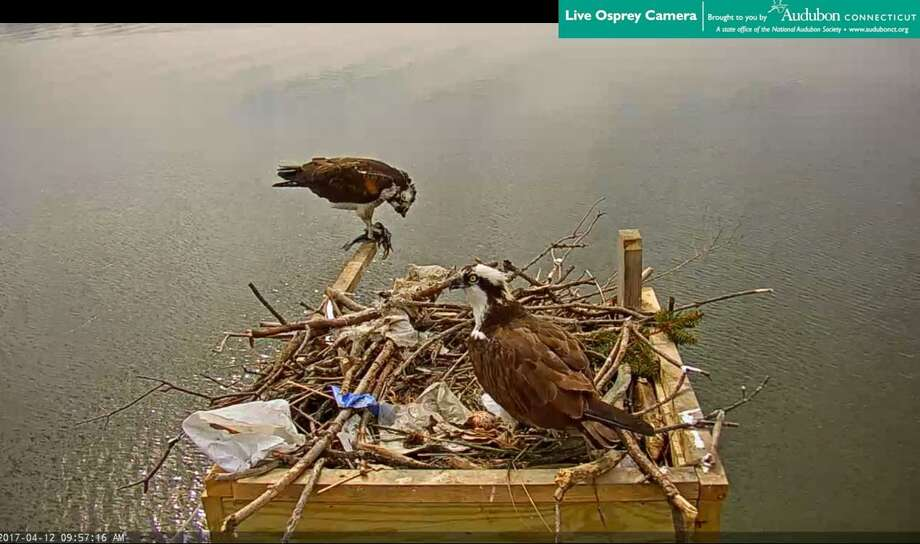 Photos from the Live Osprey website Photo: Contributed