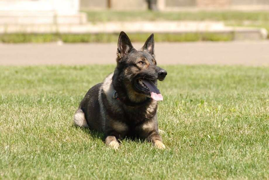 Saint Michael, a police dog with the Newtown Police Department, died Sunday after a brief battle with cancer. Photo: / Contributed