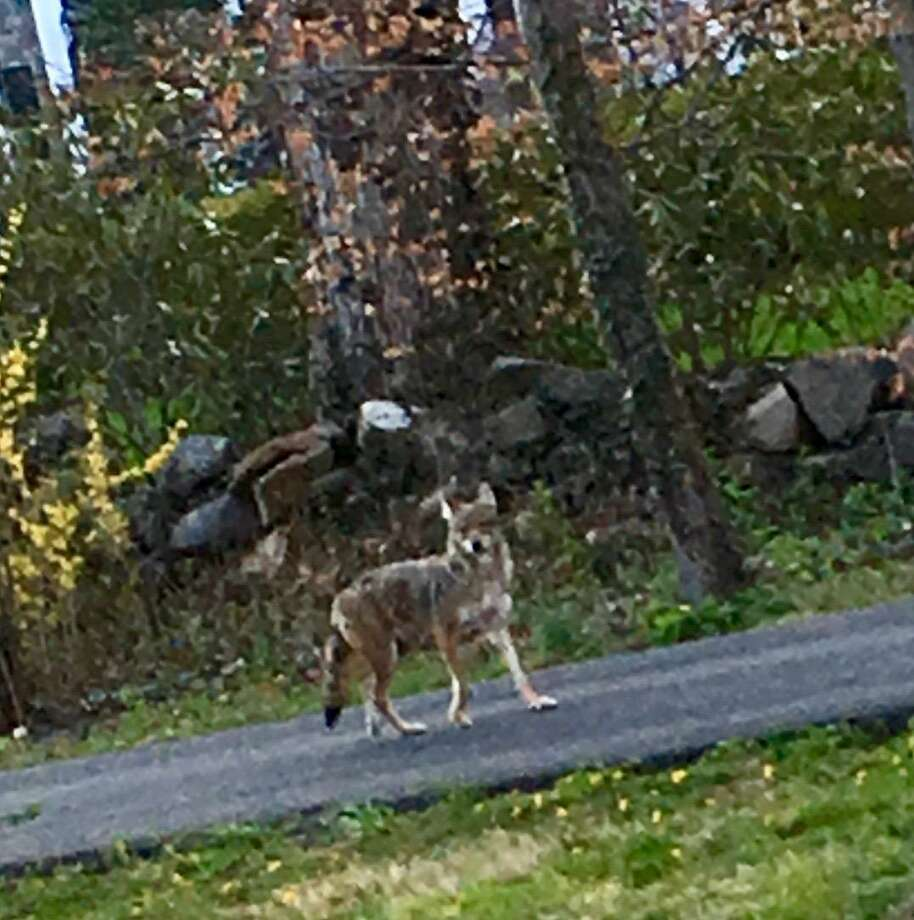 A coyote was spotted in Greenwich on Tuesday. Photo: Contributed / Connor Santry