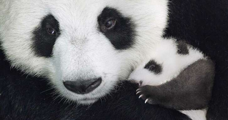 """A family of pandas takes the spotlight in """"Born in China."""""""