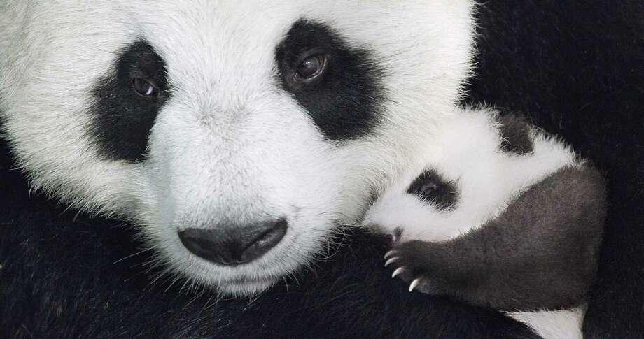 """A family of pandas takes the spotlight in """"Born in China.""""  Photo: PRNewsFoto/Walt Disney Company, HO / TNS"""