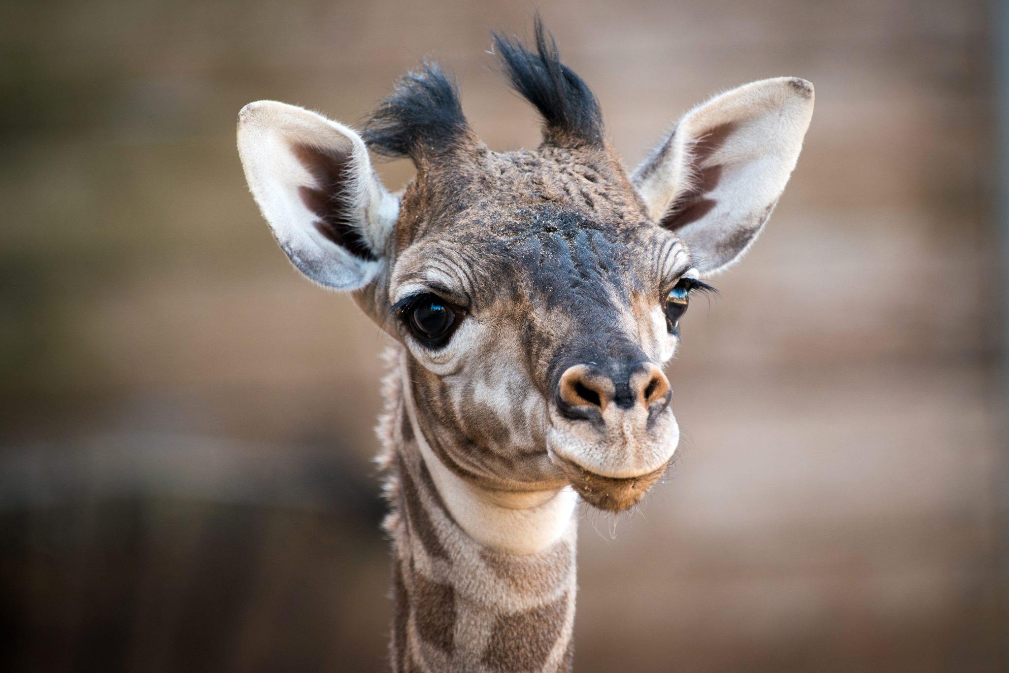 Houston Zoo S New Giraffe Finally Has Name Houston Chronicle