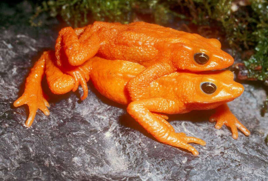The scarlet harlequin frog was last seen in 1990. Photo: Enrique La Marca  Via Global Wildlife Conservation