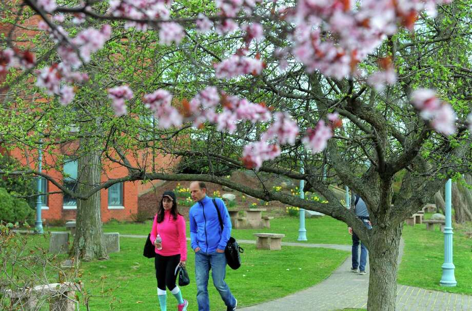 Cherry blossoms bloom as people walk along the pathway next to the Saugatuck River on April 15. Photo: Christian Abraham / Hearst Connecticut Media / Connecticut Post