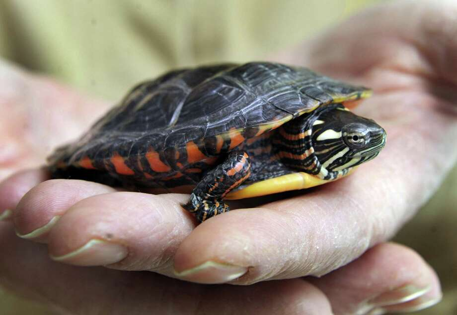 According to the Connecticut Council on Environmental Quality's assessment of the state's environment, turtles, Ruffed Grouse and bats are all declining, due to less habitat. Photo: Carol Kaliff / Hearst Connecicut Media File / The News-Times