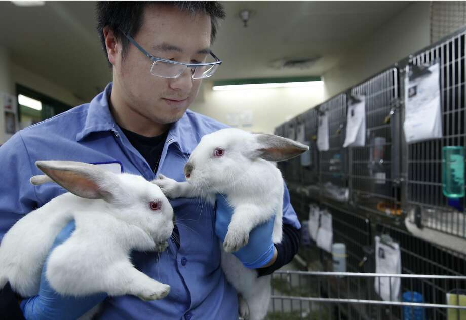 combo Calvin Shiu tends to two white rabbits at Animal Care and Control in San Francisco, Calif. on Wednesday, April 19, 2017. Animal control officers seized 43 rabbits from a breeder in January who was selling them as pets or as meat and are now up for adoption for $19.67 each. Photo: Paul Chinn, The Chronicle