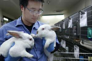 Calvin Shiu tends to two white rabbits at Animal Care and Control in San Francisco, Calif. on Wednesday, April 19, 2017. Animal control officers seized 43 rabbits from a breeder in January who was selling them as pets or as meat and are now up for adoption for $19.67 each.