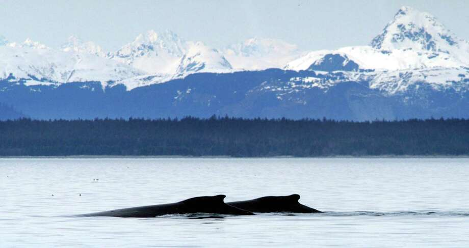 Humpback whales near Point Carolus at the mouth of Glacier Bay, Alaska. Photo: Anonymous, HO / NATIONAL PARK SERVICE