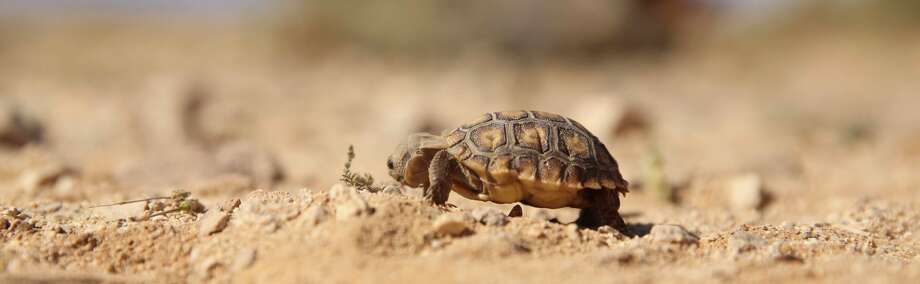 A 6-month old desert tortoise found during the Desert Tortoise translocation eats at the Marine Corps Air Ground Combat Center in Twentynine Palms, Calif., on April 12, 2017. Because the animal is too small to be translocated, it will be sent to the Tortoise Research and Captive Rearing Site, a long-term assessment of how to protect nests, hatchlings and juveniles until they grow resilient enough to endure the harsh physical environment, resist most predation and mature to fully-functional adults that produce offspring and support the population. Photo: Cpl. Julio McGraw/Marine Corps Air Ground Combat C