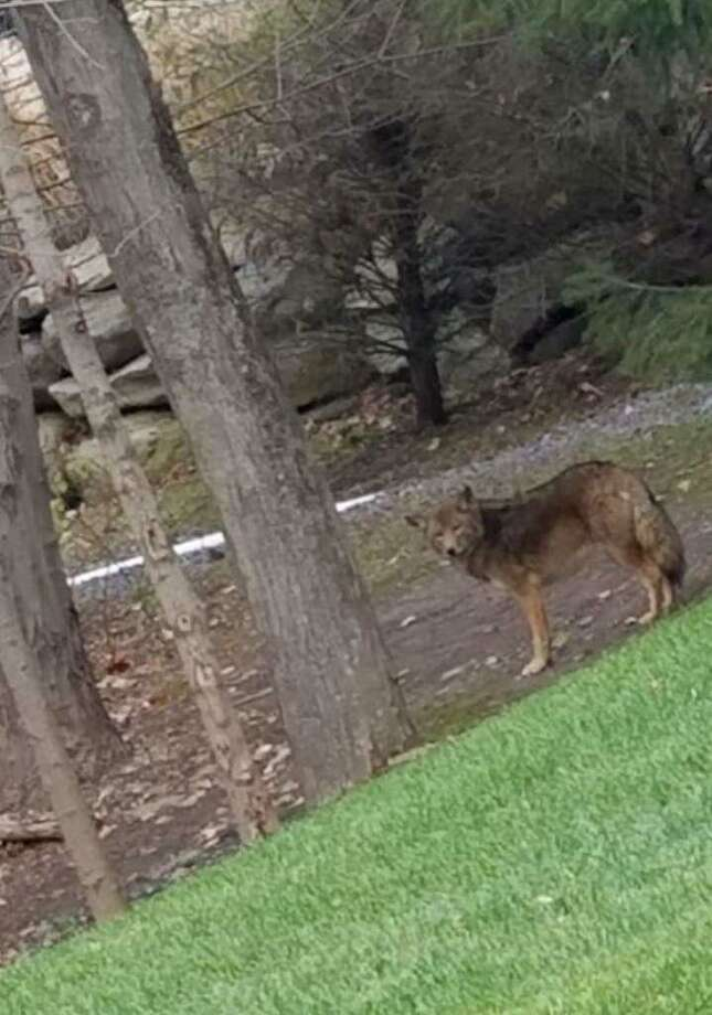 A coyote in Art Buckman's Westport backyard. Photo: Contributed / Contributed Photo / Westport News