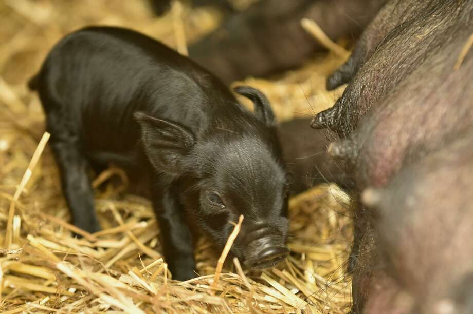 A baby pig, or piglet, can be seen with its mother at the Stamford Museum and Nature Center in Stamford, Conn., on Thursday, June 25, 2015. Five piglets were born to Lulu, a four-year-old Guinea hog, at Stamford Museum and Nature CenterâÄôs Heckscher Farm early Wednesday morning. No names have been given to the three female and two male piglets. This is LuluâÄôs third litter. Photo: Jason Rearick / Hearst Connecticut Media / Stamford Advocate