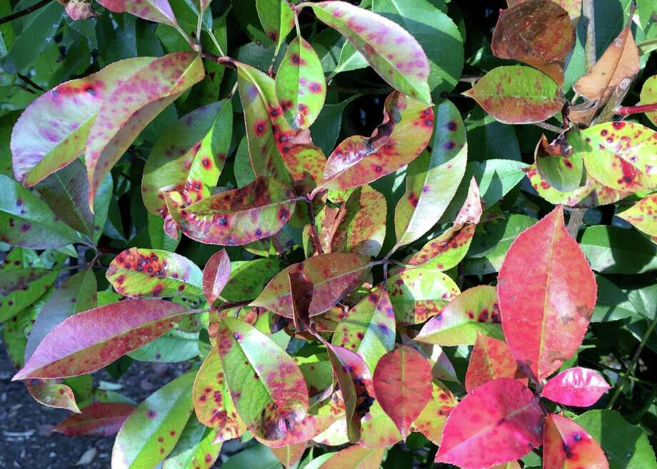 This is Entomosporium fungal leaf spot. It has ravaged redtip photinias all across America and Texas. There is no fungicide that stops its spread. Photo: Courtesy Photo