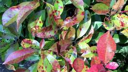 This is Entomosporium fungal leaf spot. It has ravaged redtip photinias all across America and Texas. There is no fungicide that stops its spread.