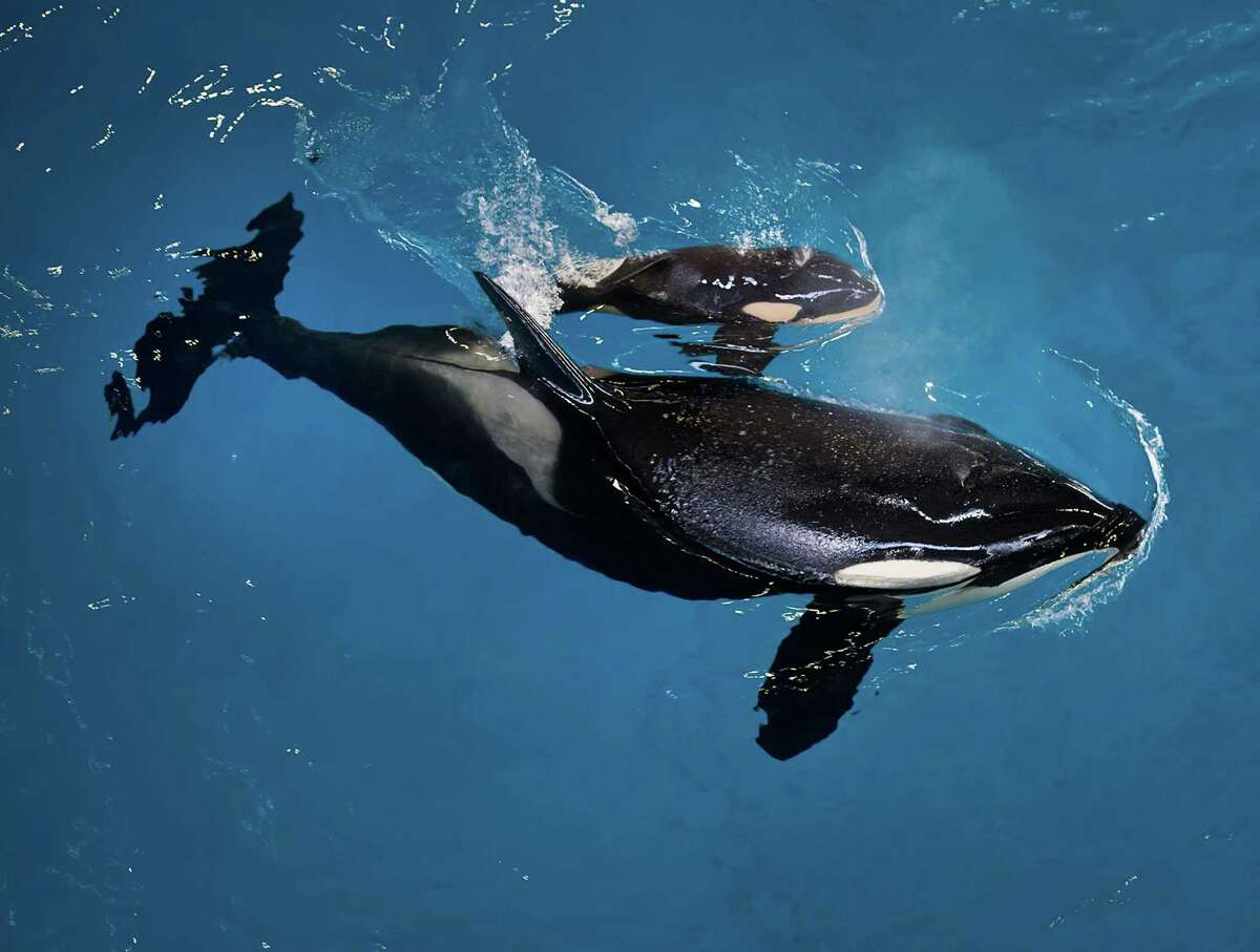 In this image provided by SeaWorld Parks & Entertainment orca Takara helps guide her newborn to the water's surface at SeaWorld San Antonio, Wednesday, April 19, 2017, in San Antonio. Kyara, who died Monday, was born to much fanfare April 19 after an 18-month pregnancy to Takara, a 25-year-old female orca.