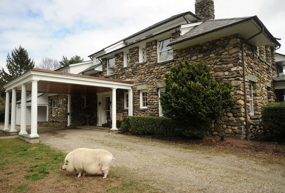 A friendly three hundred pound pig named Matt wanders the grounds of the 1909 home at 107 Mill Hill Lane in Fairfield, Conn. on Wednesday, April 5, 2017. Photo: Brian A. Pounds / Hearst Connecticut Media / Connecticut Post