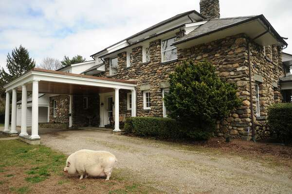A friendly three hundred pound pig named Matt wanders the grounds of the 1909 home at 107 Mill Hill Lane in Fairfield, Conn. on Wednesday, April 5, 2017.