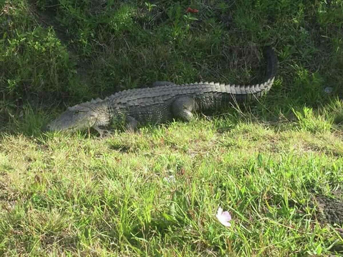 This large alligator was seen in off 16th street, between Fairmont Pkwy. and Spencer Hwy. in La Porte on April 14, 2017.
