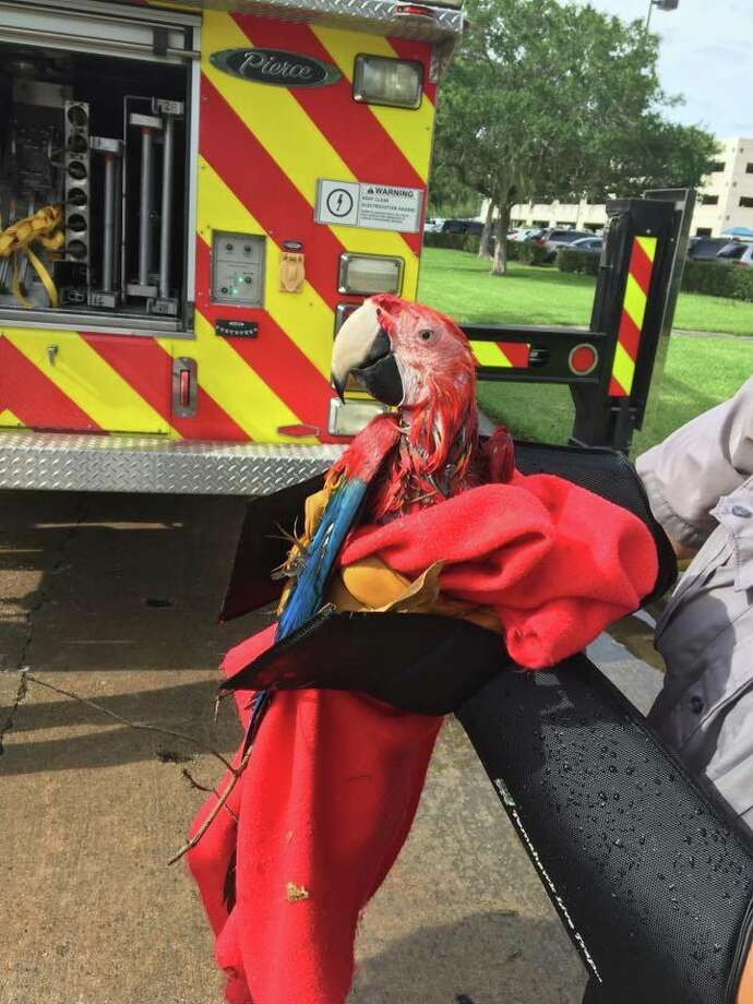 Texas birdsSugar Land animal service officials and firefighters recently rescued an elusive parrot from a large oak tree.Click through to see Texas' most endangered birds. Photo: City Of Sugarland