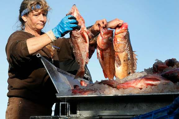 Crew member of the fishing vessel Pioneer, Joleen Lambert-Skinner, unloads a catch of bocaccio rockfish at Pier 47 in San Francisco, Calif. on Thursday, April 20, 2017. Joe Pennisi, owner of Pioneer Seafoods, has obtained a permit to sell to restaurants and fish companies right off his boat and eventually to the public.