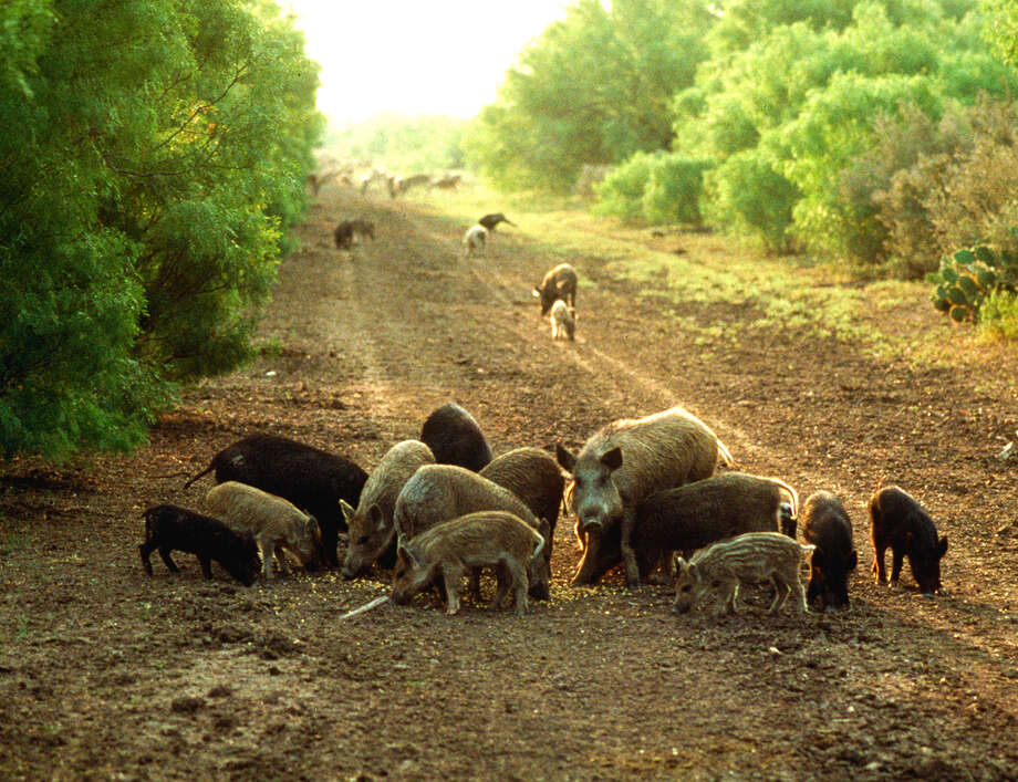 Texas holds the nation's largest population of feral hogs, and the pigs cause an estimated $54 million a year in damage to Texas agriculture, tens of millions more in damage to private property, compete with native wildlife for habitat, prey on some species of native wildlife and carry contagious diseases that can affect domestic livestock. Photo: None Listed